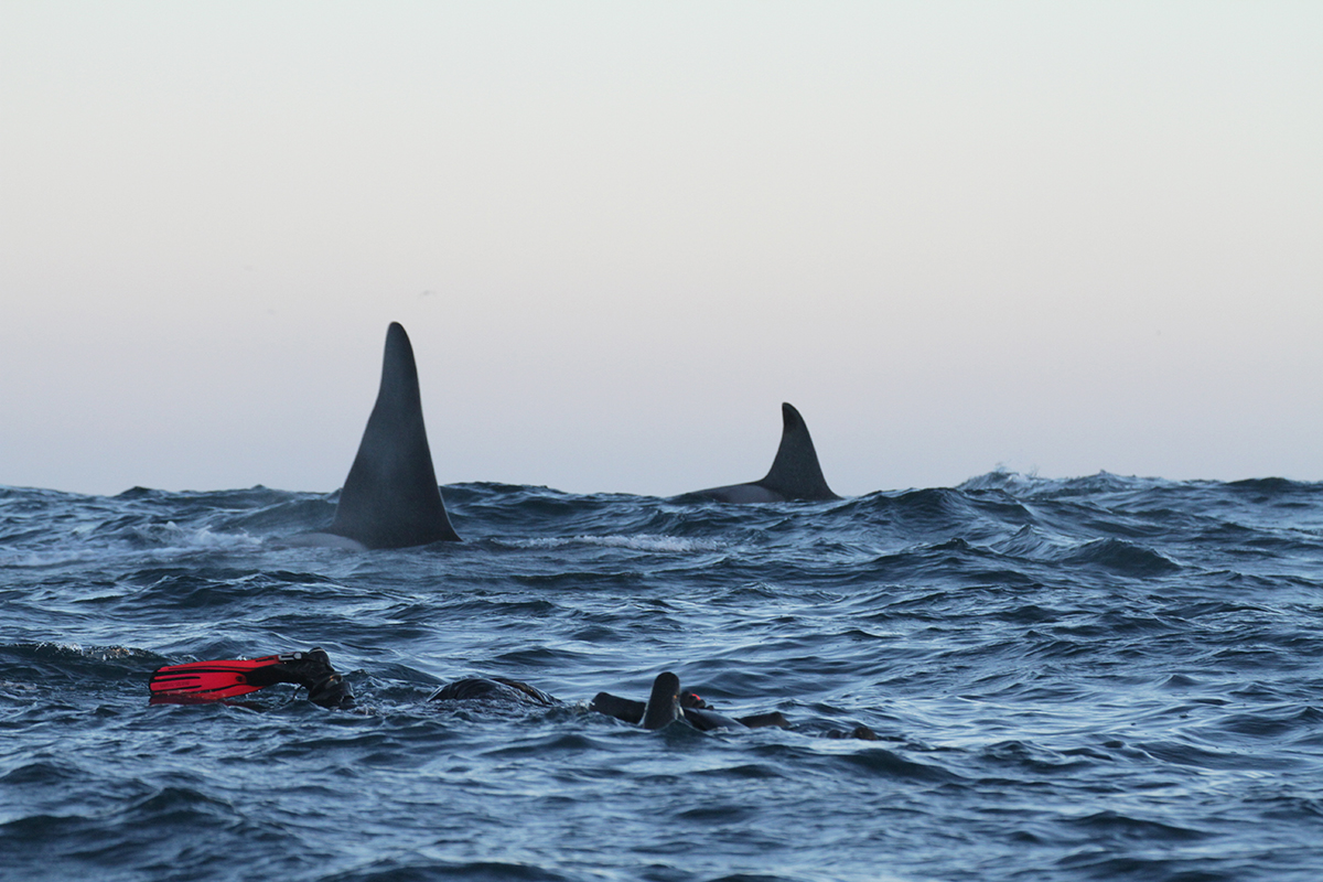 killer whales norway