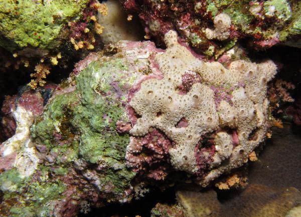 coraux algue