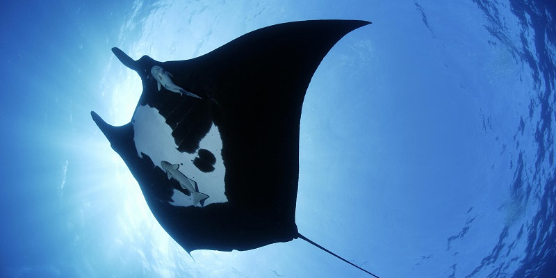 Diving with manta rays on the dive site Anau Bora Bora
