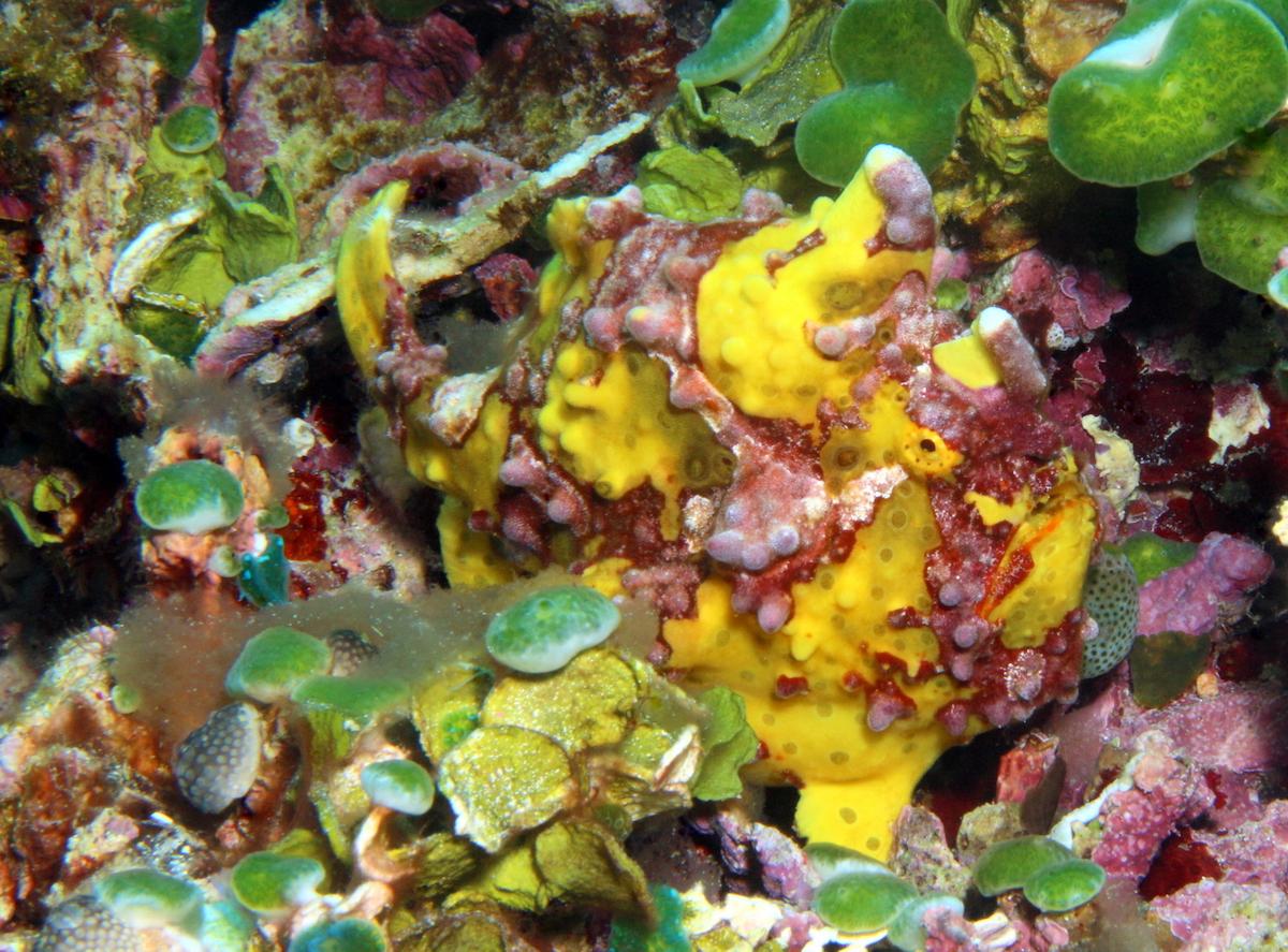 poisson grenouille jaune