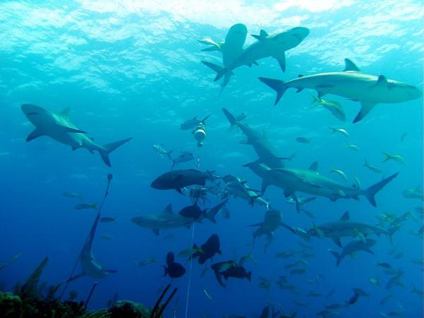 shark sleep while swimming