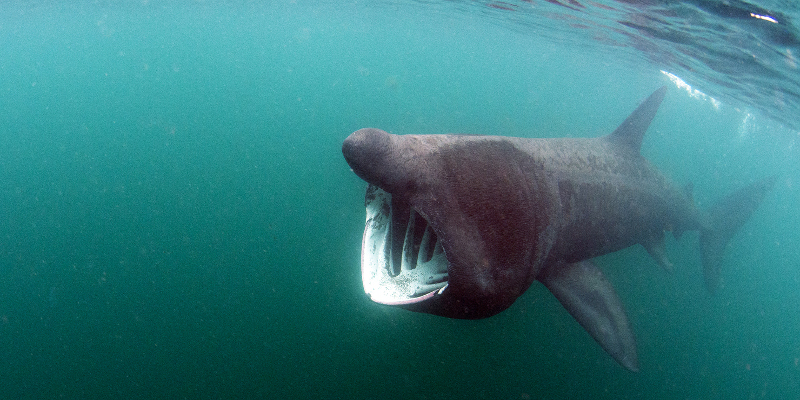 basking shark swimming along the irish coast