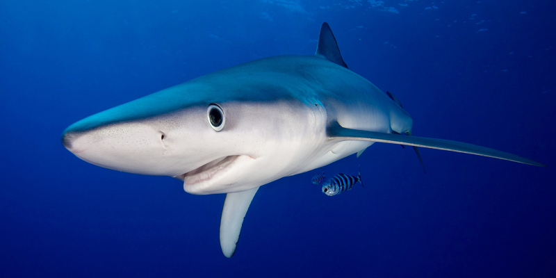 ocean blue shark swimming in the azores