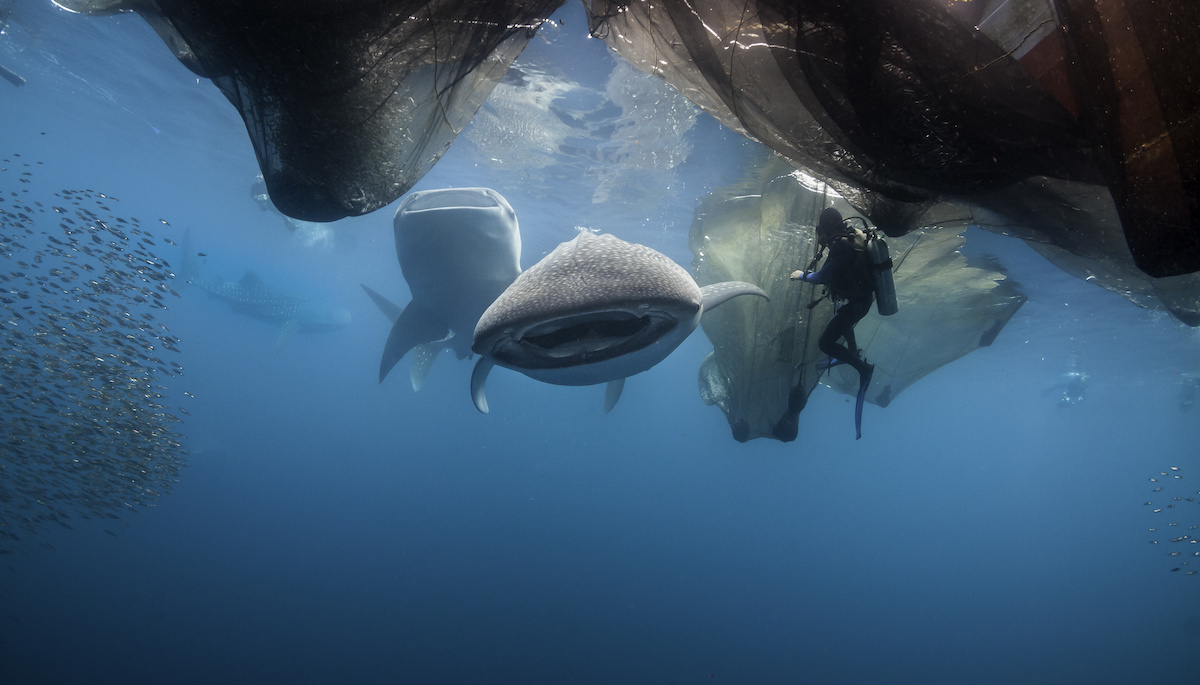 requin baleine cenderawasih