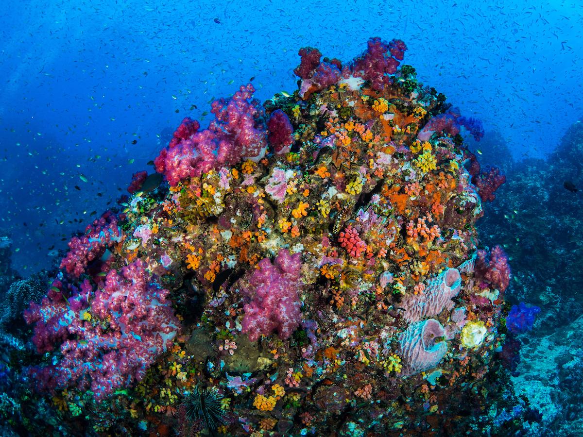 coraux mous