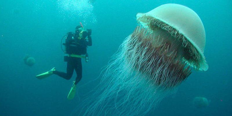 méduse à crinière de lion