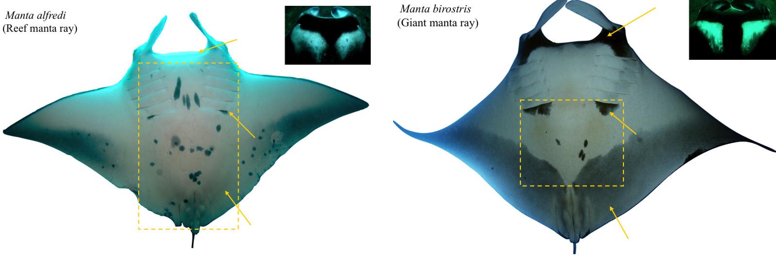 diferences manta ray