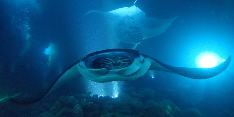 night dive with giant manta rays