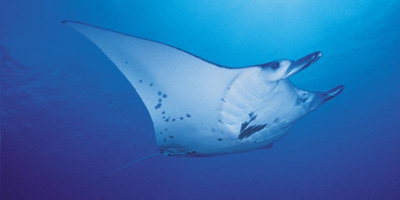 Dive spot tiputa manta ray