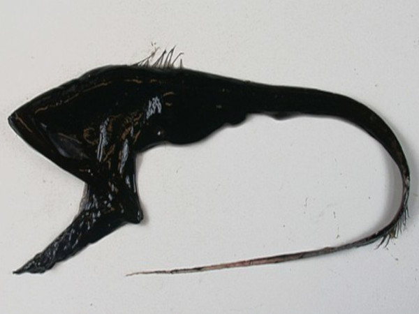 grandgousier poisson
