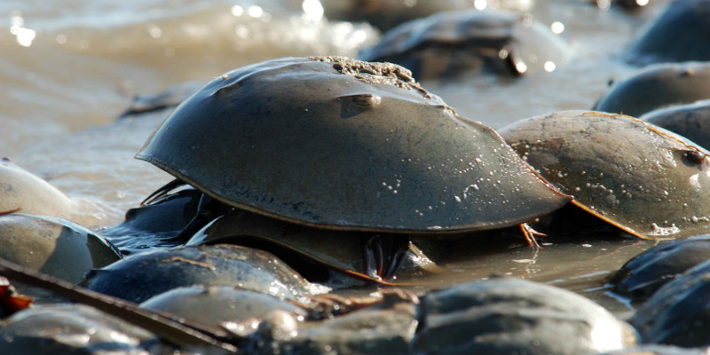 Horseshoe crab blue blood is used to save lives
