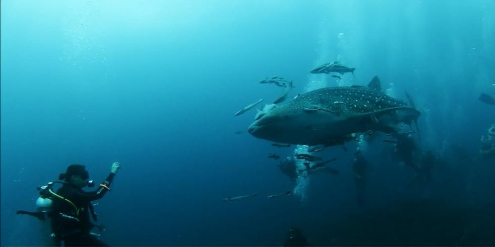requin baleine koh tao