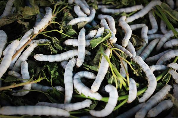 larva plastico