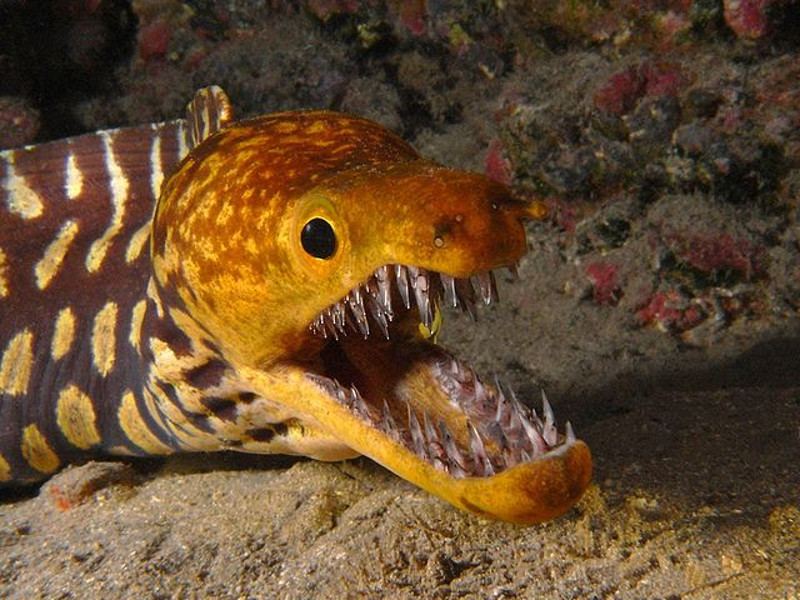 moray eel jaw