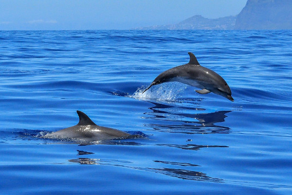 dolphin indonesia