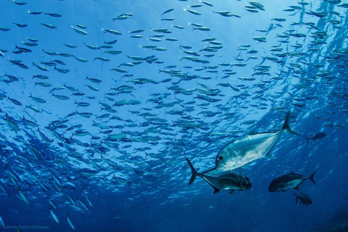 jackfish komodo