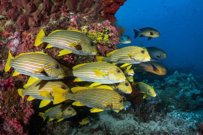 sweetlip fish