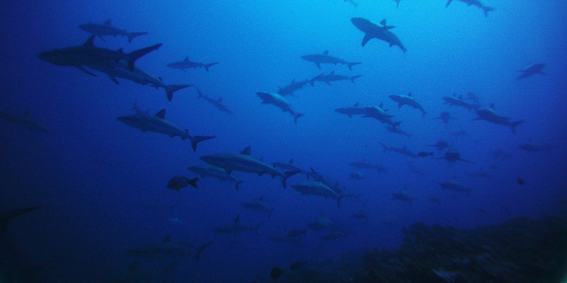 school of grey sharks in french polynesia