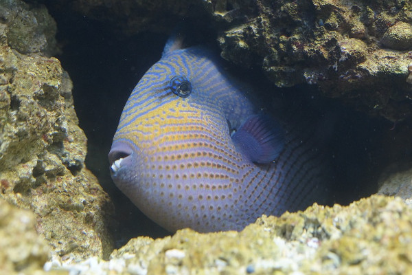 Triggerfish sneak under rocks