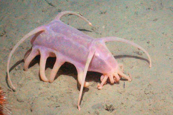 cerdo de mar