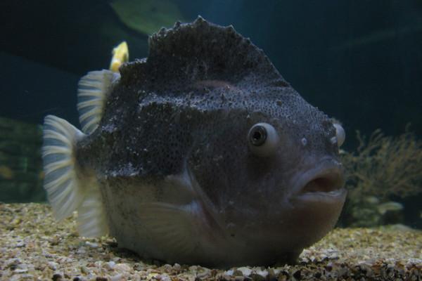 Smooth lumpfish