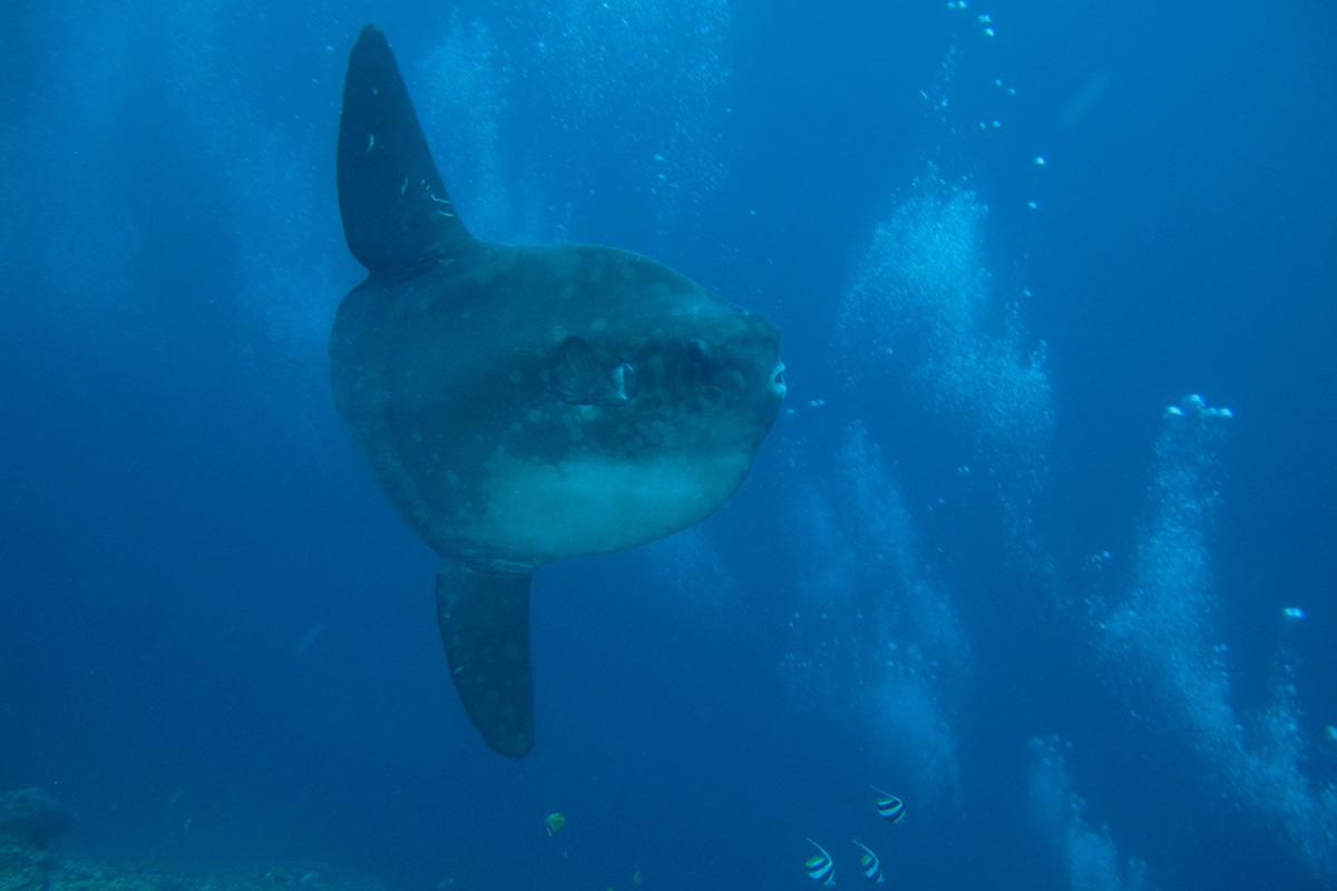 sunfish nusa penida