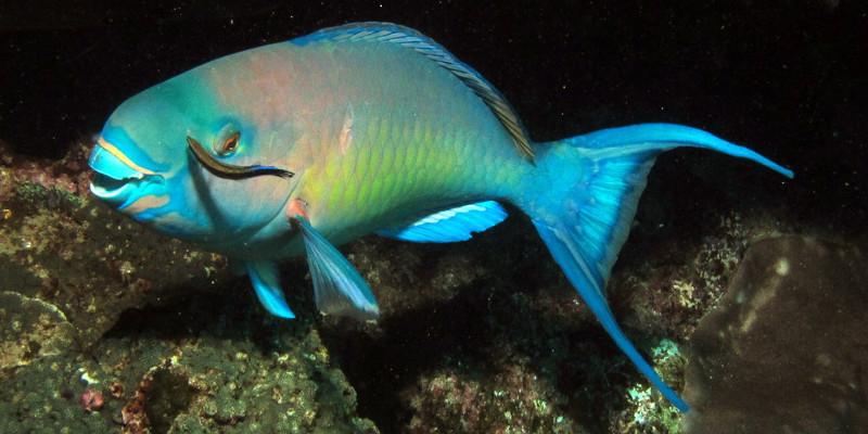 poisson perroquet dent