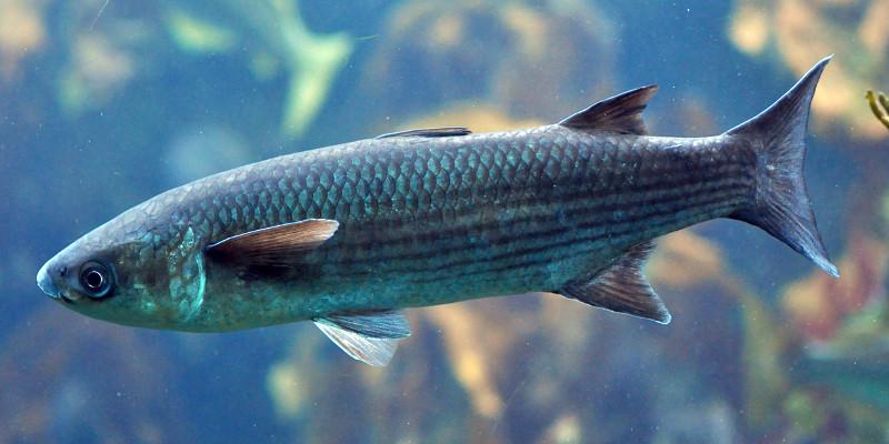 pez lisa