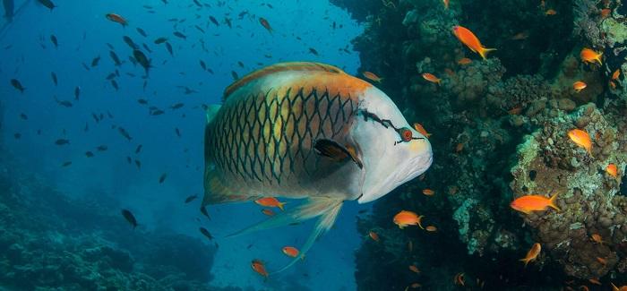 pescado Safaga