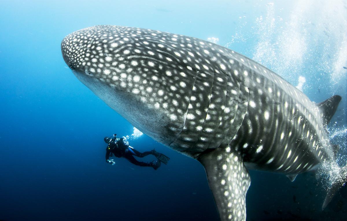 tiburón ballena galapagos