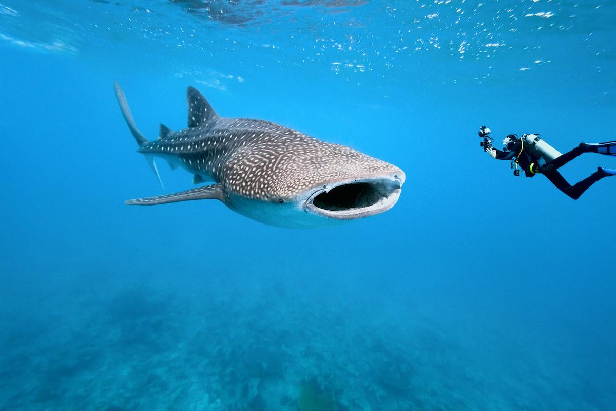 requin baleine seychelles