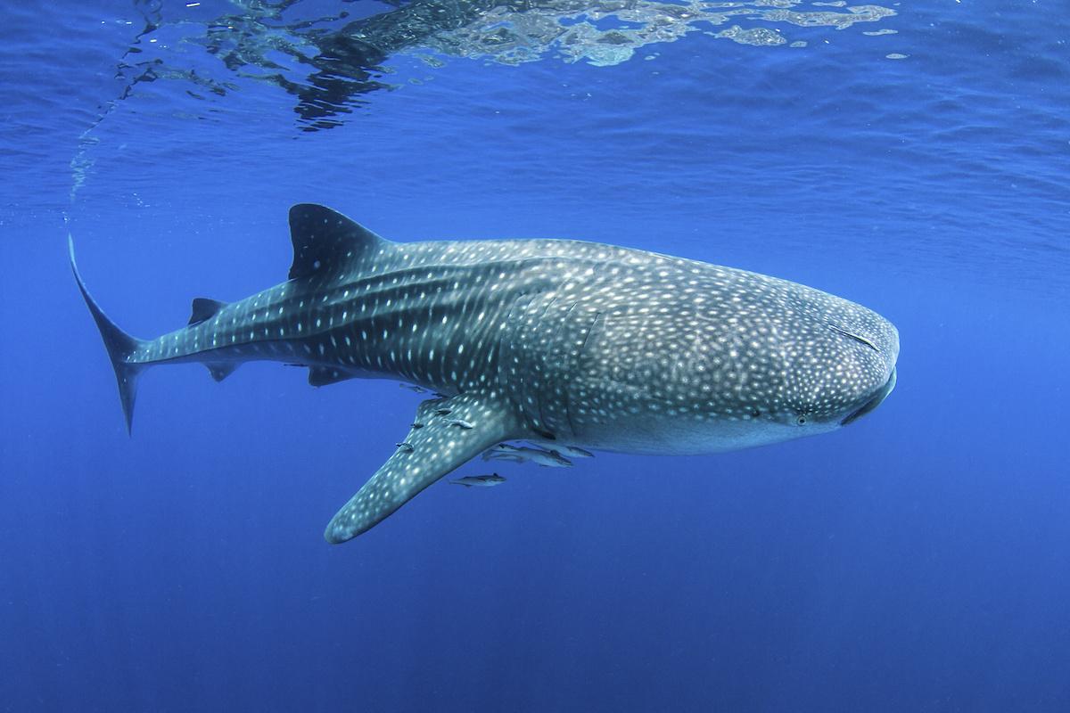 requin baleine galapagos