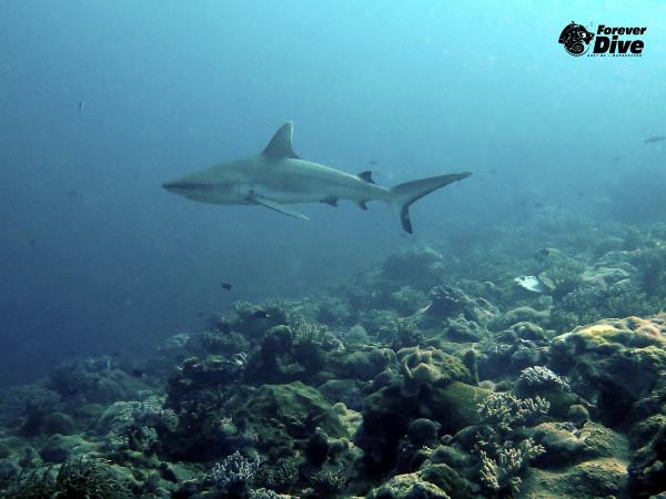 tiburon nosy be