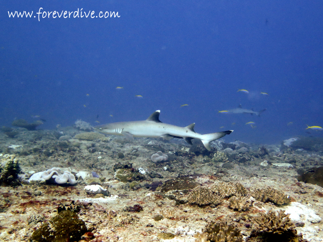 requin pointe blanche nosy be