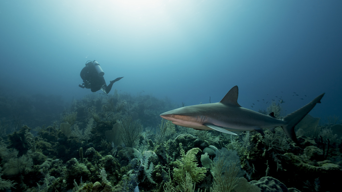 silky shark cuba