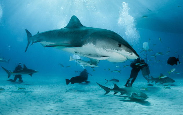 tiburon tigre bahamas
