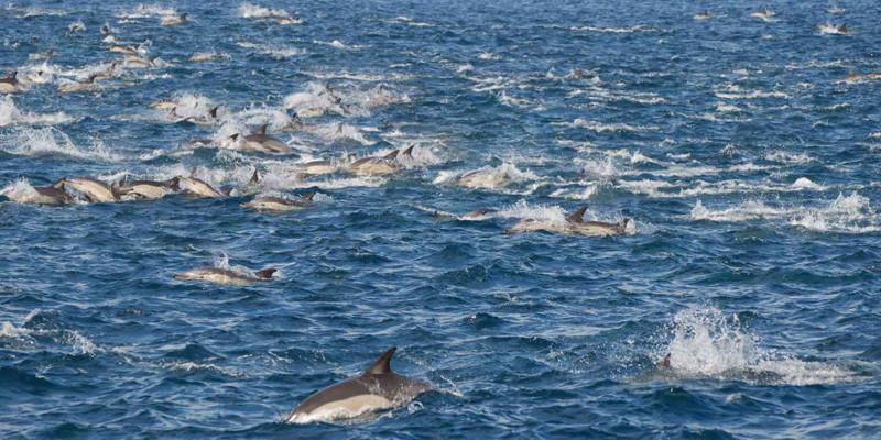 sardine run dauphins