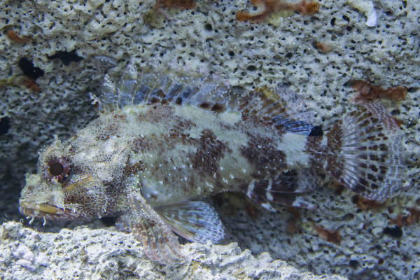 black scorpionfish slovenia