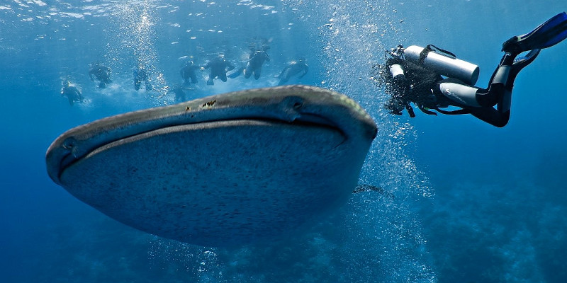 whale shark maldives