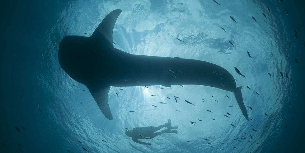 requin baleine Mozambique Afrique