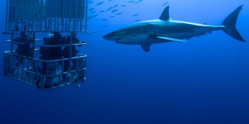 requin blanc afrique du sud