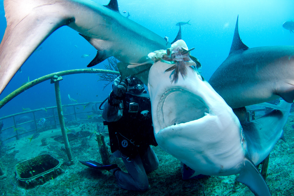 nourrir les requins en plongee sous marine