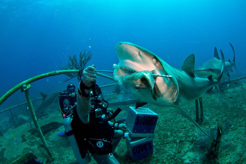 shark feeding durant une plongée sous marine