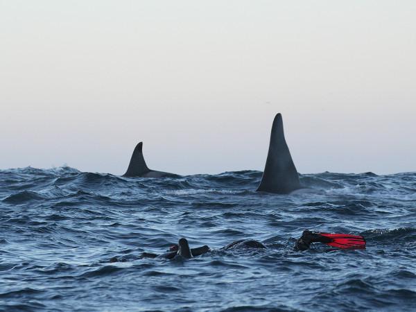 nager avec des orques