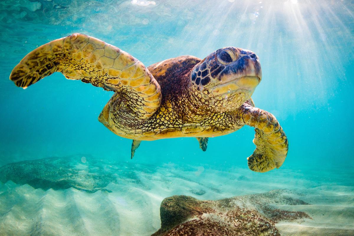 tortuga marina en australia
