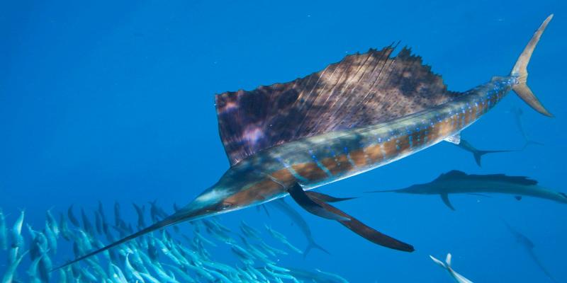 pez vela del Pacífico