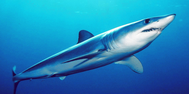 requin mako