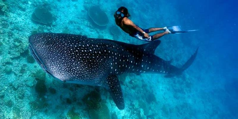 requin baleine honduras amérique du sud