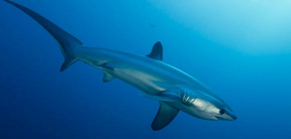 requin pélagique