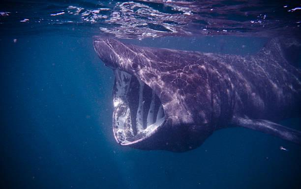 requin pélerin